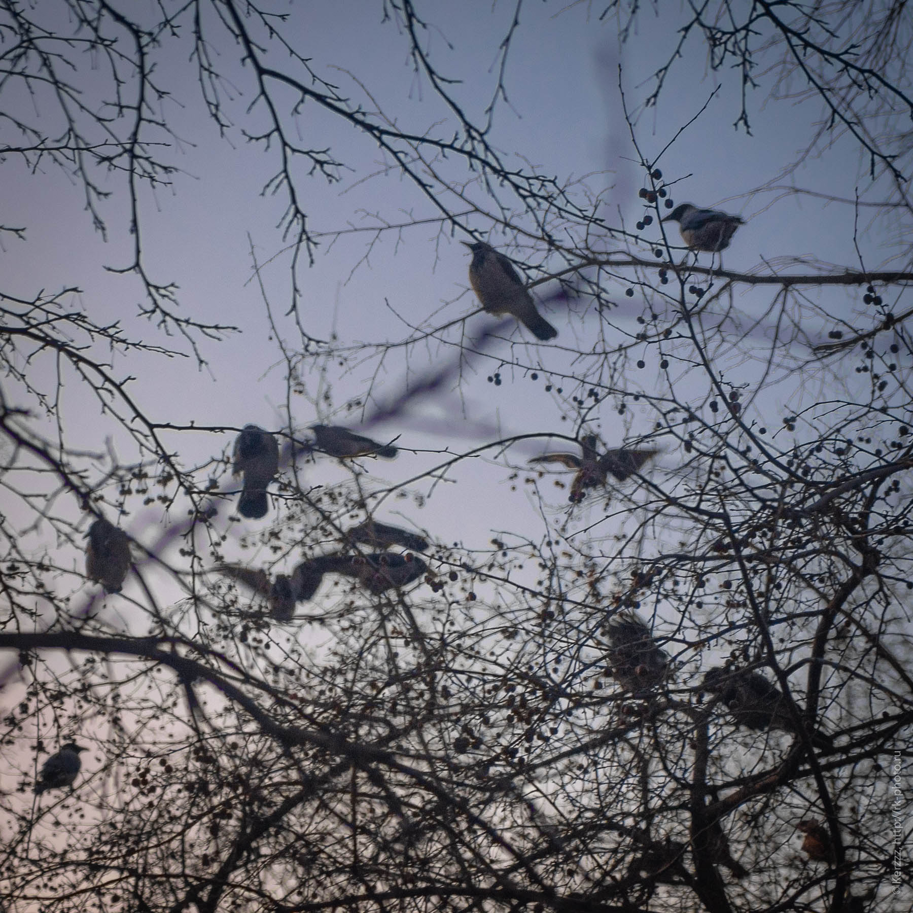 Вороны в ветвях. Crows in the branches.